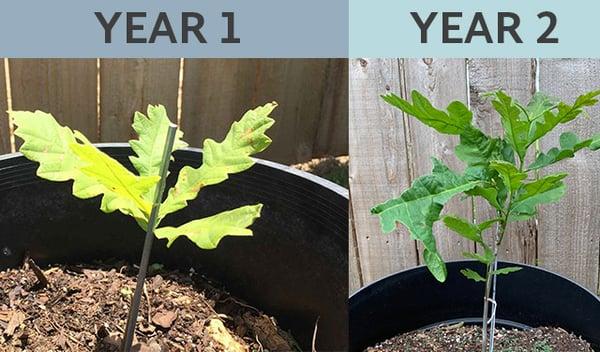 burr-oak-sapling-growth