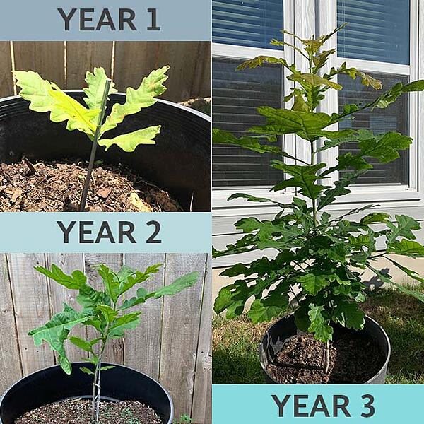 tree-sapling-from-seed
