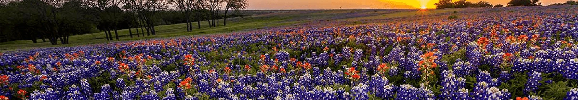 texas-bluebonnets-sunrise