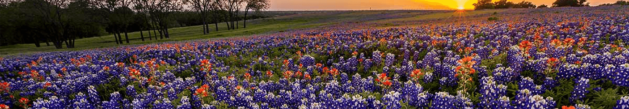 texas-bluebonnets